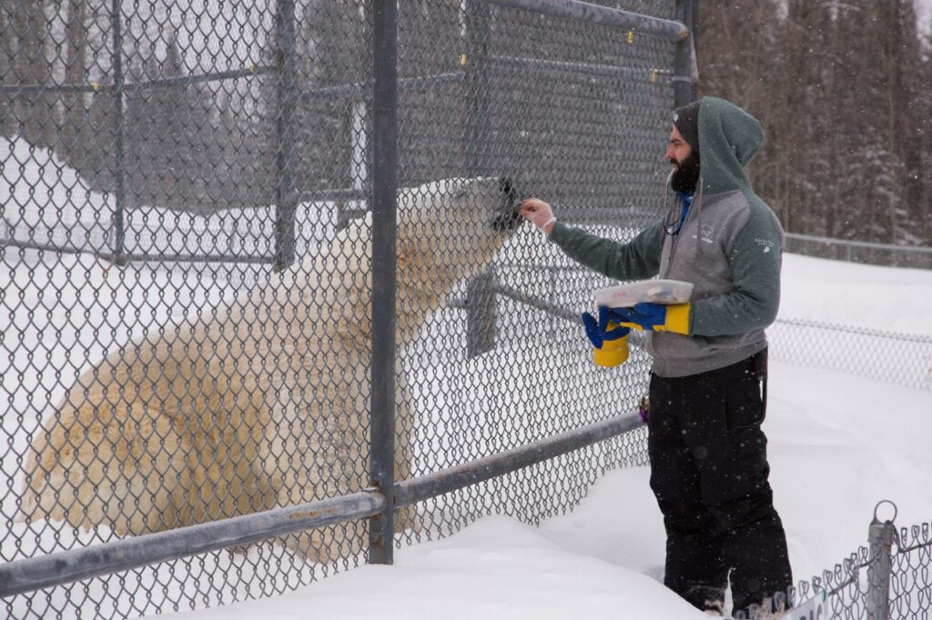 check out the polar bears while Cochrane Ontario snowmobiling